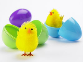 easter chicks,plastic eggs
