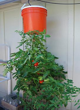 hanging tomato