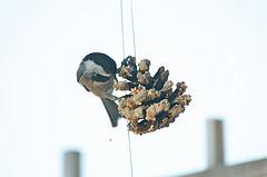 pinecone feeder for birds