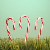 candycanes in tall grass