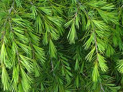 evergreen bough
